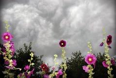 Stormy hollyhocks. Storm clouds behind hollyhock flowers stock image