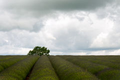 Stormy lavender Stock Image