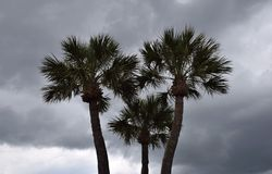 Stormy Palm Trio Royalty Free Stock Images