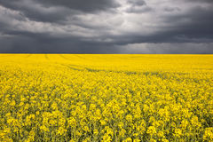Stormy rapeseed Royalty Free Stock Image