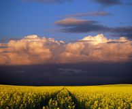 Stormy rapeseed flower field Stock Image