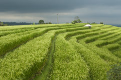 Stormy Rice Paddy Field Royalty Free Stock Photo