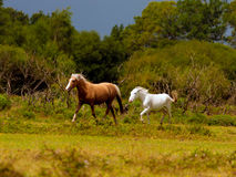 Stormy Run. Ponies run for cover with a storm approaching, near Janesmoor Pond, New Forest National Park Royalty Free Stock Image