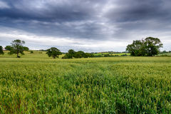 Stormy Sky over a Corn Field. Storm clouds over a field of ripening corn near Launceston in Cornwall royalty free stock images