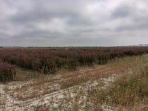 plantations of rosemary royalty free stock photos