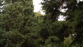 Stormy Weather Nature Background 01. Trees Swaying Wildly In The Wind stock video footage