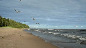 Seagulls fly over the sea. Stormy weather and waves rolling on the shore. The beautiful sky with clouds on the coast is deserted. Seagulls circling the shore stock footage