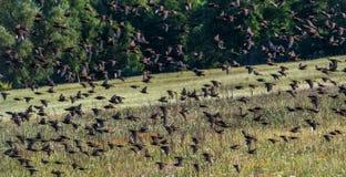 Storni comuni della moltitudine in volo, storni comuni fotografia stock libera da diritti