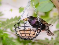 Storno ad un alimentatore dell'uccello fotografia stock libera da diritti