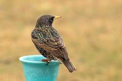 Storno all'alimentatore dell'uccello fotografia stock