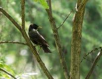 Storno che si siede sul ramo di un albero Fotografie Stock Libere da Diritti