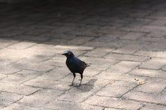 Storno lucido che cammina sulla pavimentazione Immagini Stock