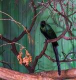 Storno munito lungo che si siede su un ramo di albero, bello uccello con le piume brillanti verdi variopinte, uccello tropicale d fotografie stock libere da diritti