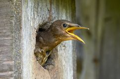 Storno nel nido per deporre le uova Immagini Stock