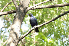 Storno porpora (purpureus di Lamprotornis) Fotografia Stock