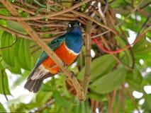 Storno superbo, Kuala Lumpur Bird Park fotografie stock