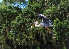 Storslagen häger som kopplar av på sötvattensjön i Oxford FL Royaltyfri Bild