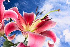 Storslagen lilja Arkivfoto