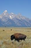 storslagen nationalparkteton för bison Royaltyfri Foto