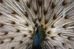 Storslagen svart knuffad påfågel royaltyfri fotografi