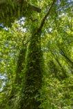 Storslaget träd med vinrankor som upp till klättrar vägen markisen i Washi Fotografering för Bildbyråer