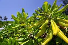 Storslagna Caymanväxter Arkivbilder