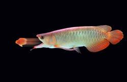 stort äter fisken little Royaltyfri Fotografi