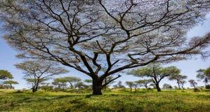 Stort afrikanskt träd inget blad royaltyfria foton