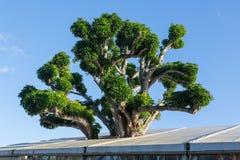 Stort akaciakoaträd som växer i tak royaltyfria foton