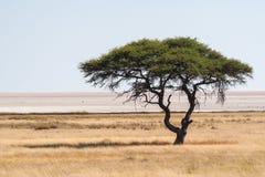Stort akaciaträd i den Etosha nationalparken i Namibia arkivbild