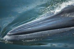 Stort bad för val för Bryde ` s till vattenyttersidan som ska utandas, genom att blåsa vattnet in i luften Det finns många uppehä Royaltyfria Foton