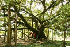 Stort banyanträd i guilin, porslin arkivbilder