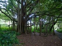 Stort banyanträd i Hawaii Arkivfoto