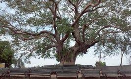 Stort banyanträd på den rameshwar mahadevtemplet royaltyfria bilder