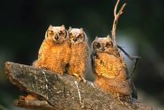 stort barn för horned owl Royaltyfria Foton