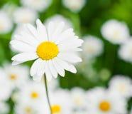 Stort blomma för tusenskönor Arkivbild