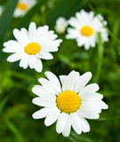Stort blomma för tusenskönor Royaltyfri Bild