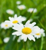 Stort blomma för tusenskönor Arkivfoton