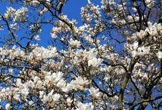 Stort blommande tr?d av magnolian Filialer och vita blommor p? en bakgrund av den bl?a v?rhimlen royaltyfri foto