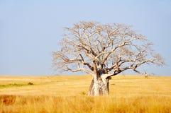 Stort Boabab träd i fältet Arkivbild