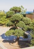 Stort bonsaiträd i parkera crimea royaltyfria foton