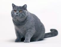 Stort brittiskt Shorthair kattsammanträde Royaltyfri Foto