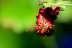 Stort brunt sköldfel på en jordgubbe Arkivbilder