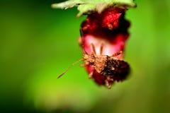 Stort brunt sköldfel på en jordgubbe Arkivbild
