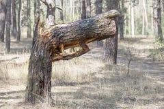 Stort brutet träd i skogträdet som är brutet i form av vapnet Naturer som varnar för att stoppa miljöbelastning Royaltyfri Fotografi