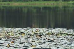 Stort damm med reflexion för träd` s och lotusblommablommor royaltyfria bilder