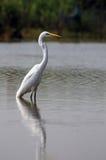 stort egretfiske Arkivbilder
