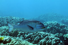 stort emperorfishöga Royaltyfri Fotografi