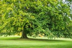 Stort ensamt grönt träd i sommarlodlinje arkivfoto