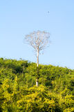 Stort ensamt träd bland tät skog Royaltyfri Foto